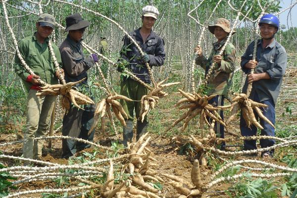 Giống sắn mới giúp nông dân Đức Bình Đông tăng thu nhập