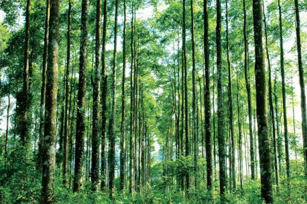 Trồng rừng gỗ lớn để xóa đói giảm nghèo
