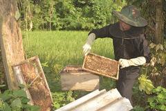 Làm giàu nhờ mô hình nuôi ong tự nhiên lấy mật