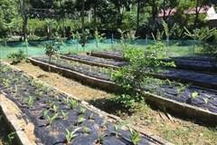 Lợi ích kép từ trồng ngải đen