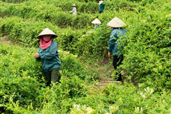 Ba Chẽ nâng cao đời sống của người dân nhờ trồng dược liệu sạch