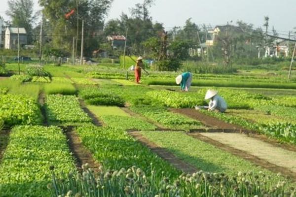 Làng Trà Quế nhờ trồng rau sạch đã giảm được nghèo