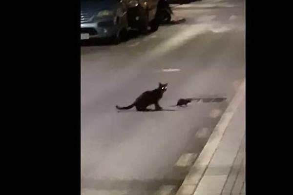 Xem chuột 'ninja' đấu với mèo nhà xảo quyệt