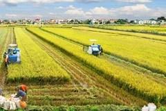 """Thực hiện """"Cánh đồng lớn"""" đã hình thành chuỗi giá trị từ sản xuất đến thu mua chế biến và xuất khẩu"""
