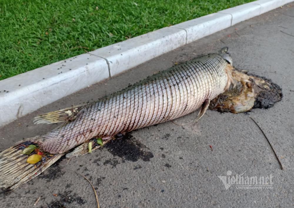 Cá chết trong công viên Thống Nhất là cá hoả tiễn