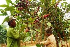 Đồng bào Vân Kiều cải thiện thu nhập nhờ cây cà phê