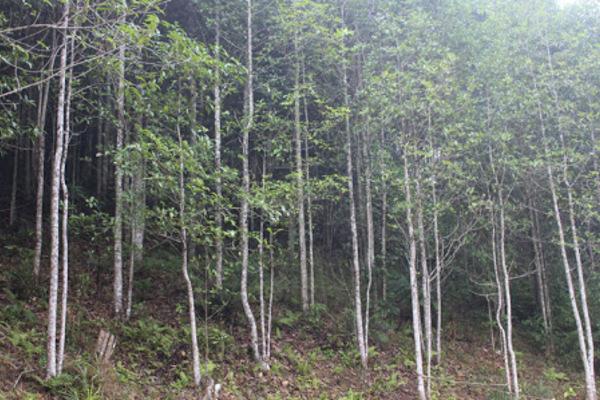 Xóa nghèo nhờ bảo vệ rừng, trồng rừng