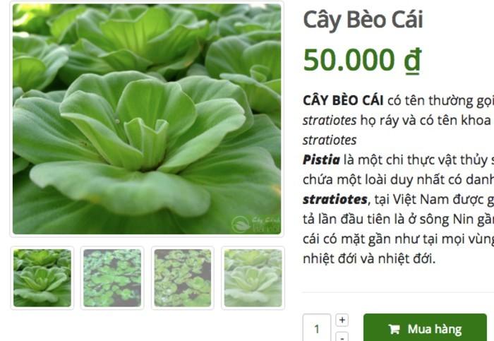 Ở quê bỏ đi lợn cũng không ăn, lên mạng bán 50 ngàn/cây