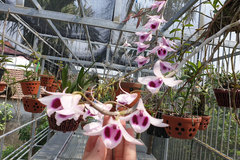 4 triệu/cm, loại lan cực hiếm, hoa đẹp hiếm thấy