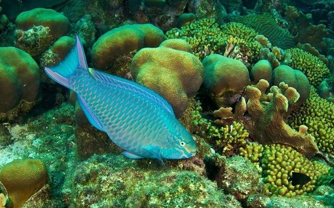 Kêu gọi không ăn cá vẹt góp phần cứu môi trường biển