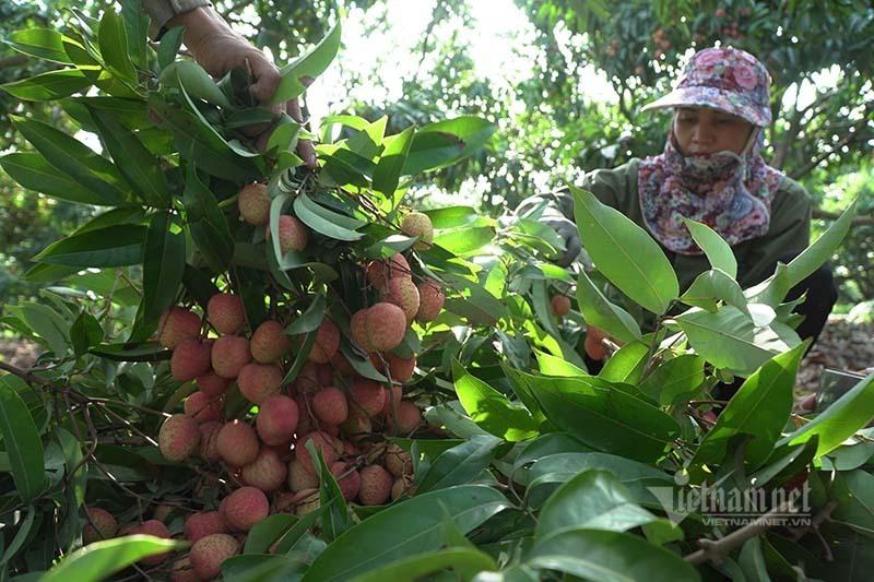 Ba mươi ngày 'chiến dịch', nông dân chia nhau 900 tỷ đồng