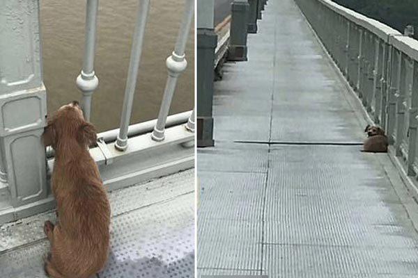 Chủ nhảy sông tự tử, chú chó trung thành đợi trên cầu suốt 4 ngày