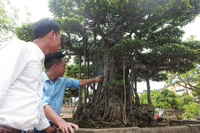 Đại gia Hà Nội chi 24 tỷ mua 2 cây sanh danh tiếng bậc nhất