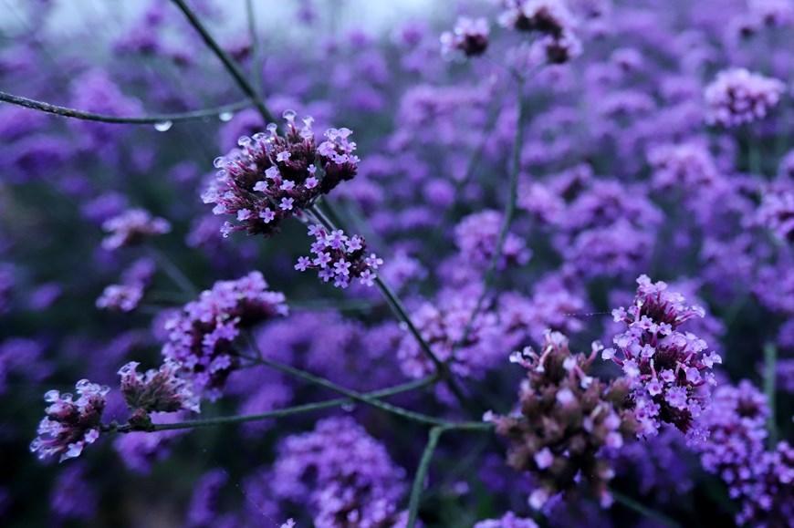 Fansipan mountain,Verveine flowers,lao cai tourism,lao cai travel
