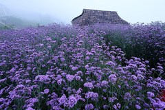 Fansipan mountain - The season of Verveine flowers
