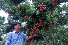 Ba mươi năm, lão nông Sán Dìu tạo quả vải thiều đắt nhất Việt Nam