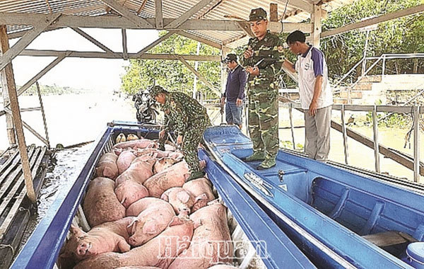Pigs smuggling threatens food safety