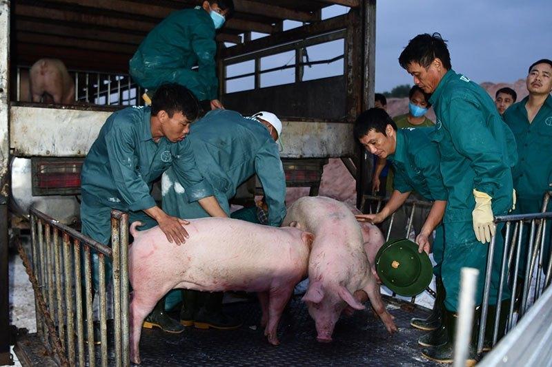 Thịt lợn Thái Lan quá rẻ, bắt đầu nhập về cho dân ăn