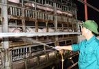 Pork prices plummet, breeders bemoan heavy losses