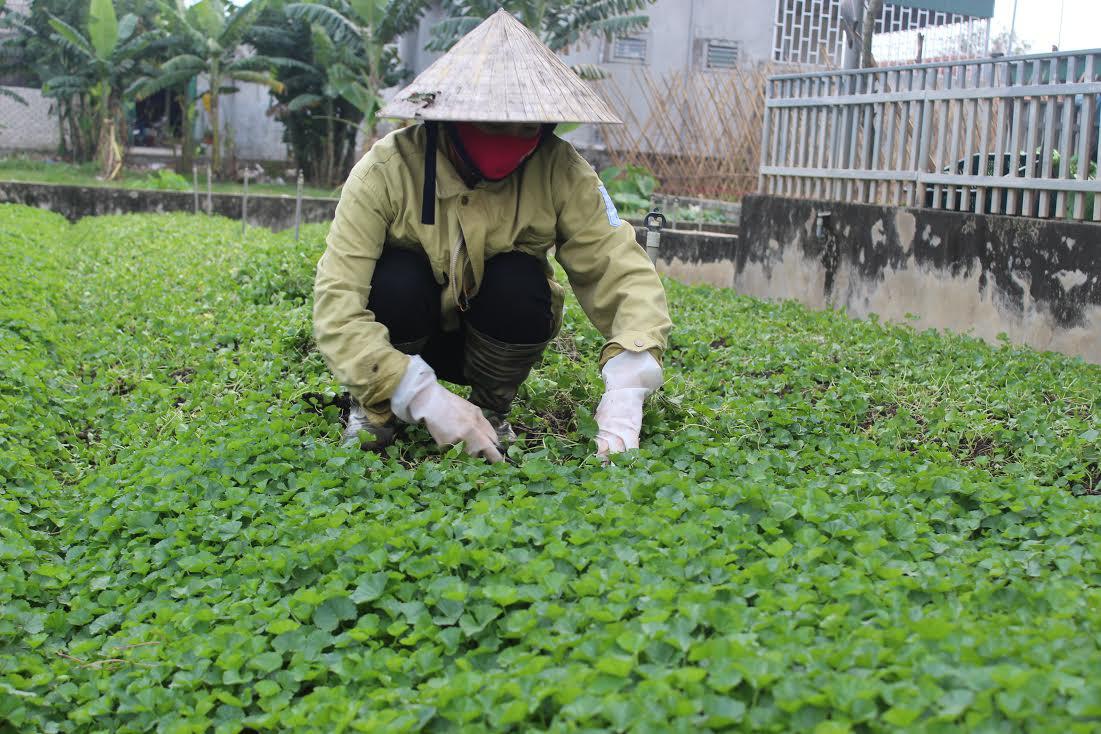 Trồng rau má, càng nắng bán càng đắt, vườn không rộng vẫn thu trăm triệu