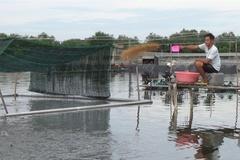 Cần Giờ: Mô hình nuôi cá bớp thoát nghèo