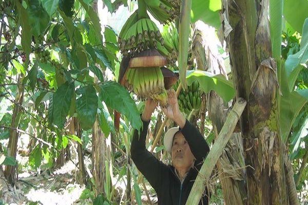 Nhiều hộ dân vùng sâu đổi đời nhờ trồng chuối Laba