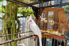 Chú chim 'Bạch Vương môi hồng', đại gia Hà Nội trả 500 triệu không bán