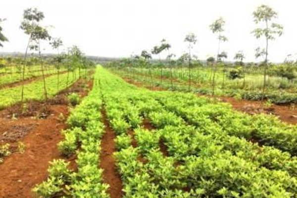 Tái canh 250 ha cao su để giải quyết việc làm cho lao động dân tộc thiểu số