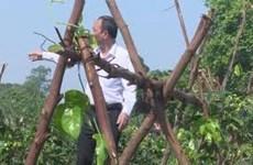 Branding Danh Mountain ginseng from Bac Giang