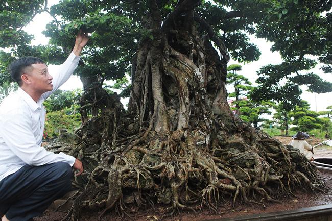 Cây sanh cổ triệu USD, đại gia Việt muốn ghi danh bảo vật thế giới