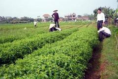 Làm giàu nhờ trồng cây cỏ ngọt Stevia