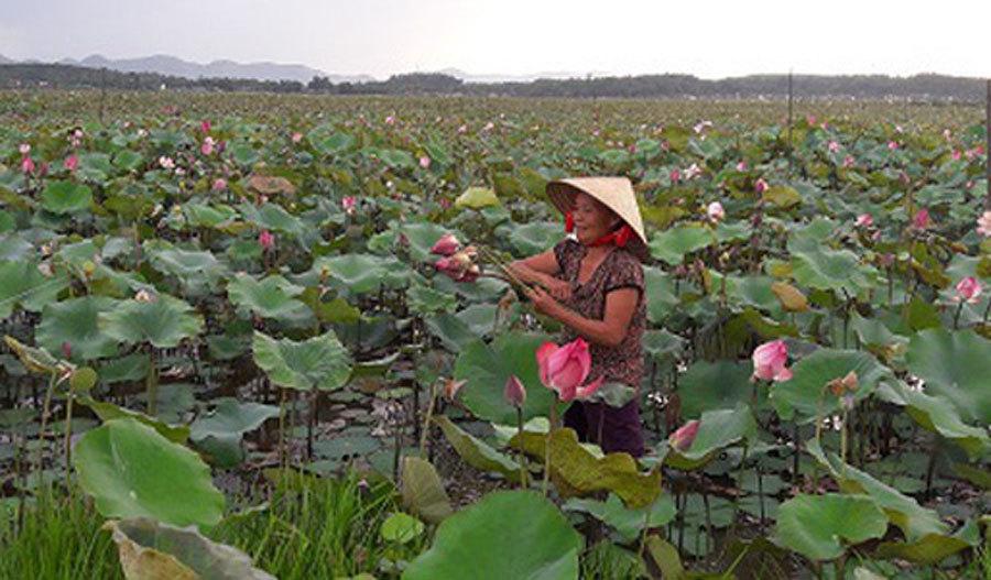 Cả làng trồng sen, chỉ bán hạt cũng lãi gấp đôi so với cấy lúa