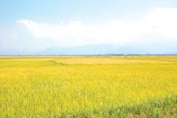 Mô hình cánh đồng lớn thâm canh ở Tánh Linh