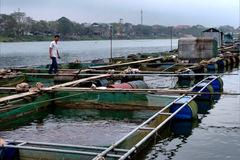Quảng Thọ xóa đói giảm nghèo nhờ trồng rau má và nuôi cá lồng