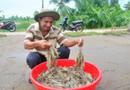 Vietnamese shrimp industry sees bright prospects after Covid-19