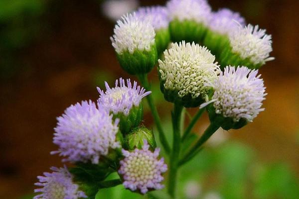 Đẩy lùi triệu chứng viêm xoang bằng cao hoa ngũ sắc