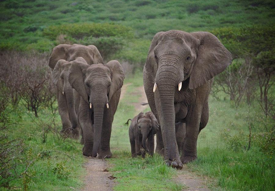 Đàn voi đi bộ 12 tiếng từ biệt ân nhân, thăm viếng vào ngày giỗ hằng năm