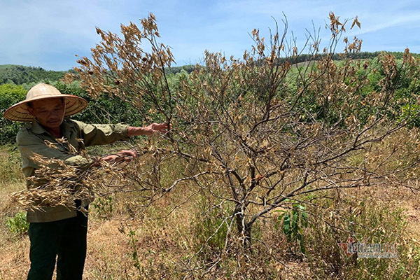 Không có điện bơm tưới, 200ha cây đặc sản nguy cơ xoá sổ