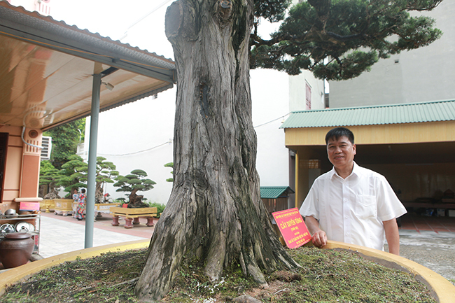 Cây cảnh hơn 300 tuổi của đại gia Phú Thọ, trả 23 tỷ vẫn không bán