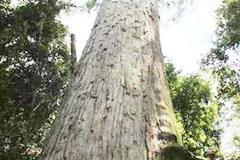 Fokienia trees devastated by illegal logging