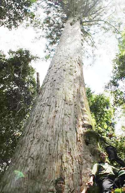 Fokienia trees devastated by illegal logging