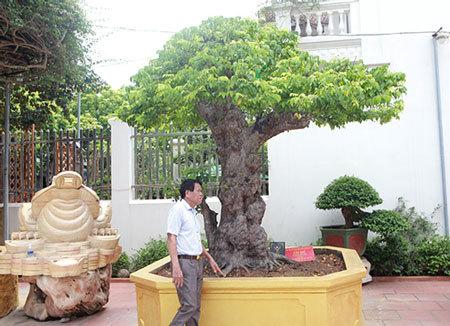Cây khế độc nhất vô nhị có giá 3 tỷ đồng của đại gia Phú Thọ