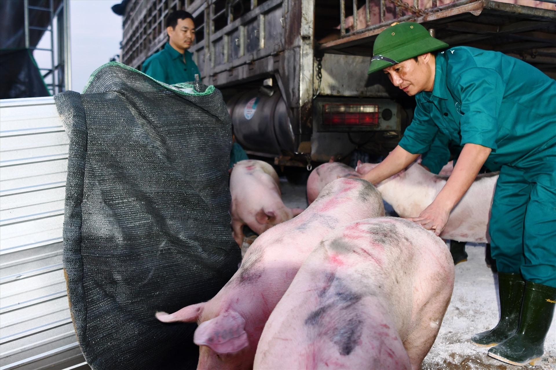"""Mỗi con lợn nhập khẩu từ Thái Lan về """"cõng"""" bao nhiêu chi phí?"""