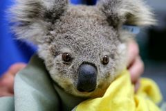 Koalas face extinction in New South Wales by 2050, report finds