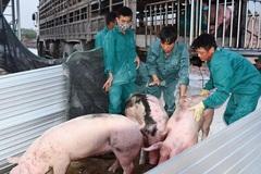 Lo ngại người chăn nuôi 'bán tống, bán tháo' lợn thịt để vớt'... giá!