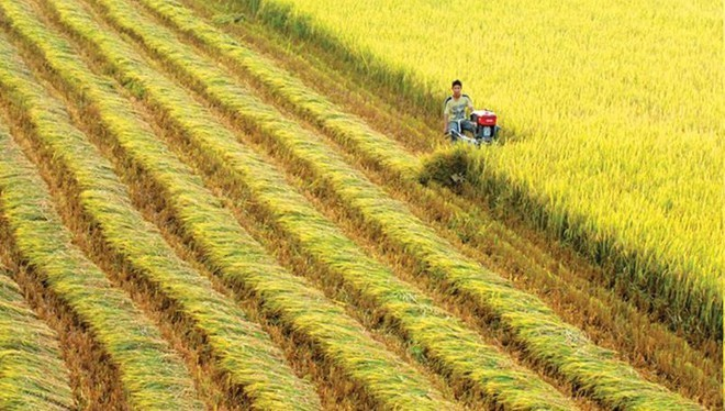 VN's rice exports bounce back after one-month interruption