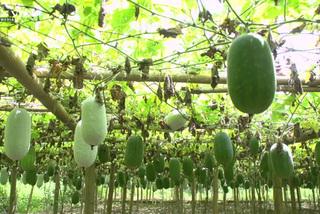 Trồng loài bí thơm từ lá đến quả lãi đậm trăm triệu