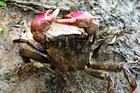 Di sản nghề muối ba khía ở Cà Mau
