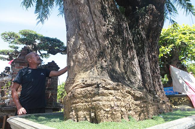 Cây sống hơn 10 thế kỷ giữa Hà Nội, đại gia trả giá siêu 'khủng' để sở hữu