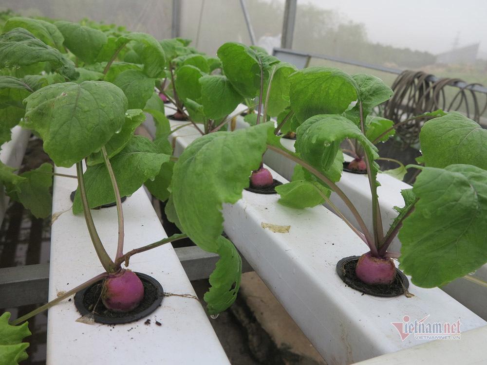 Bỏ ngân hàng về trồng rau, làm vì đam mê thu đều 600 triệu/tháng